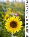 해바라기,꽃,여름 47508713