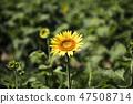 해바라기,꽃,여름 47508714