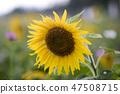 해바라기,꽃,여름 47508715