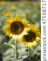 해바라기,꽃,여름 47508717