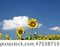 해바라기,꽃,여름 47508719