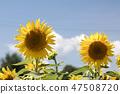 해바라기,꽃,여름 47508720