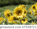 해바라기,꽃,여름 47508721