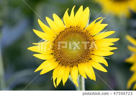 해바라기,꽃,여름 47508723