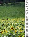 해바라기,꽃,여름 47508734