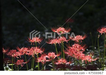꽃무릇,석산,상사화,꽃,식물 47508967