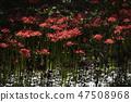 꽃무릇,석산,상사화,꽃,식물 47508968