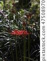꽃무릇,석산,상사화,꽃,식물 47508970