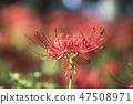 꽃무릇,석산,상사화,꽃,식물 47508971