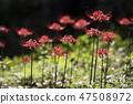 꽃무릇,석산,상사화,꽃,식물 47508972