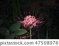 花盆,玉山,花瓣,花,植物 47508976
