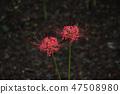 꽃무릇,석산,상사화,꽃,식물 47508980