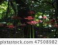 꽃무릇,석산,상사화,꽃,식물 47508982