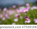 코스모스,꽃,가을 47509168