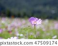 코스모스,꽃,가을 47509174