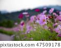 코스모스,꽃,가을 47509178