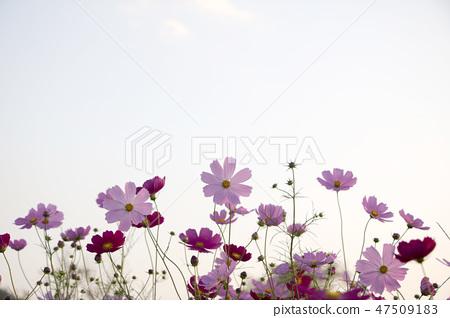 코스모스,꽃,가을 47509183
