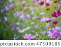코스모스,꽃,가을 47509185