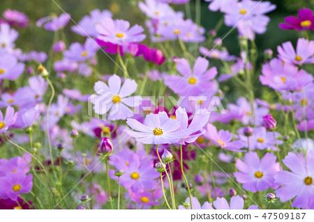 코스모스,꽃,가을 47509187