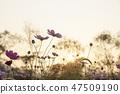 코스모스,꽃,가을 47509190