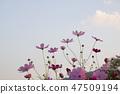 코스모스,꽃,가을 47509194