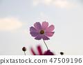 코스모스,꽃,가을 47509196