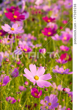 코스모스,꽃,가을 47509198