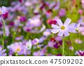 코스모스,꽃,가을 47509202