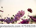 코스모스,꽃,가을 47509206