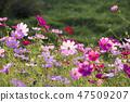 코스모스,꽃,가을 47509207