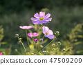 코스모스,꽃,가을 47509209