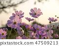 코스모스,꽃,가을 47509213