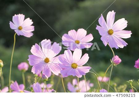 코스모스,꽃,가을 47509215