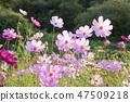 코스모스,꽃,가을 47509218
