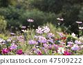 코스모스,꽃,가을 47509222