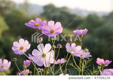코스모스,꽃,가을 47509226
