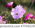 코스모스,꽃,가을 47509228