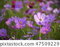 코스모스,꽃,가을 47509229