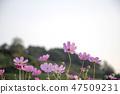 코스모스,꽃,가을 47509231