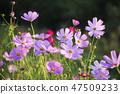 코스모스,꽃,가을 47509233