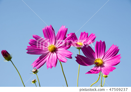 코스모스,꽃,가을 47509237