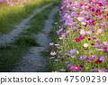 코스모스,꽃,가을 47509239