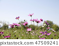 코스모스,꽃,가을 47509241