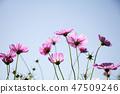 코스모스,꽃,가을 47509246