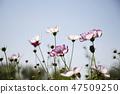 코스모스,꽃,가을 47509250