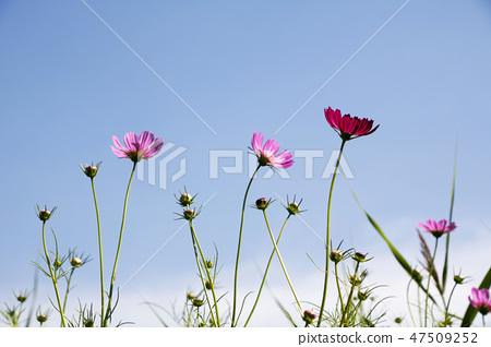 코스모스,꽃,가을 47509252