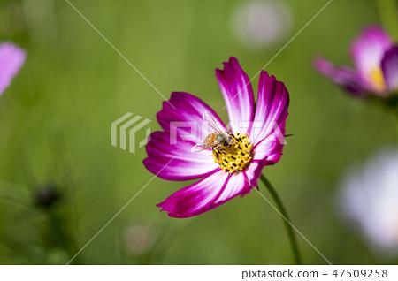 코스모스,꽃,가을 47509258