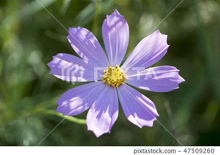코스모스,꽃,가을 47509260