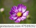 코스모스,꽃,가을 47509262