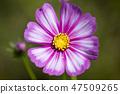 코스모스,꽃,가을 47509265